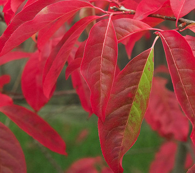 red sourwood leaves