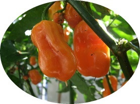 Habanero Peach Chilli Seeds