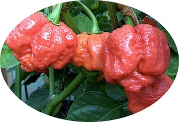 Moruga Scorpion Red Chilli Seeds
