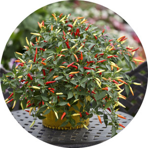 Basket of Fire Chilli Seeds