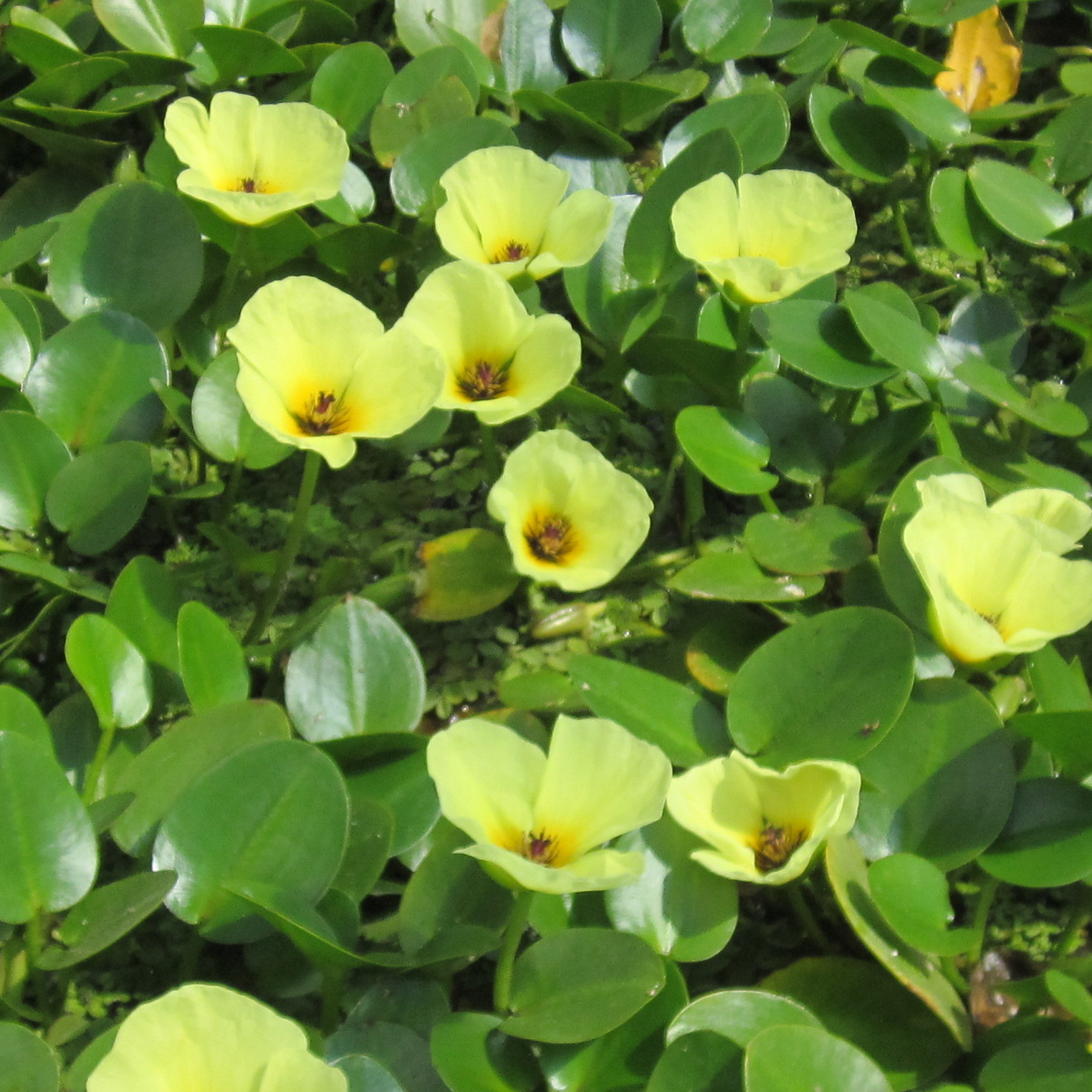 Pond plants buy best price pond plants water lilies for Outdoor pond plants