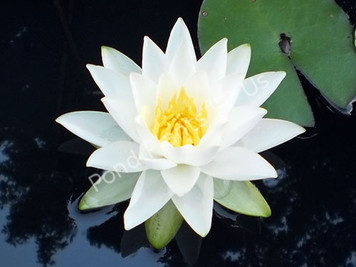 Albatros- White Hardy Water Lily