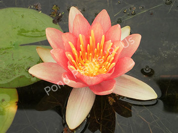 Comanche- Changeable Hardy Water Lily