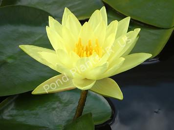 Joey Tomocik- Yellow Hardy Water Lily