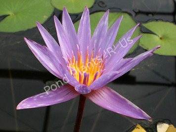 Islamorada- Purple Tropical Water Lily
