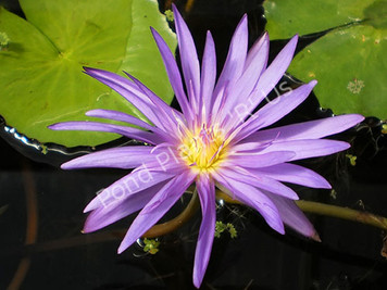 Midnight- Purple Tropical Water Lily
