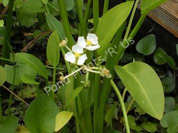 Lance-Leafed Arrowhead- Hardy Bog Plant