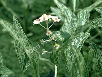 Variegated Arrowhead- Hardy Bog Plant