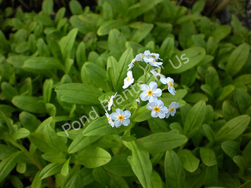 Aquatic Forget-Me-Not- Hardy Bog Plant