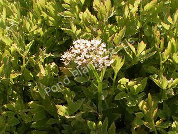 Variegated Water Celery- Hardy Bog Plant