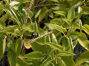 Lizard's Tail- Hardy Bog Plant
