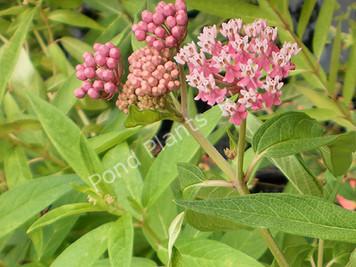 Pink Butterfly Flower- Hardy Bog Plant