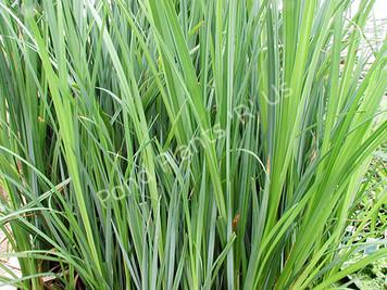 Sedge- Hardy Bog Plant