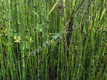 Horsetail Rush- Hardy Bog Plant
