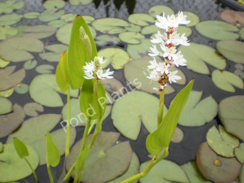 White Pickeral- Hardy Bog Plant