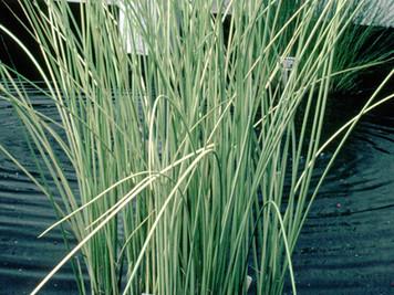 White Rush- Hardy Bog Plant