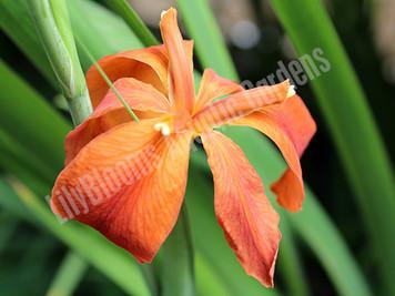 Red Iris- Hardy Bog Plant