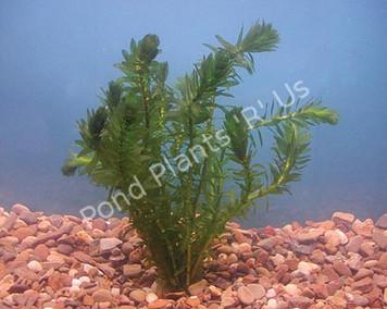 Anacharis- Submerged Plant