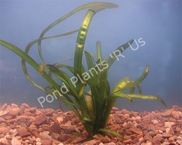 Vallisneria- Submerged Plant
