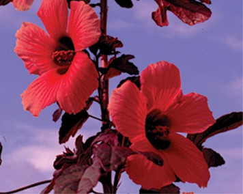 Red Night Blooming Hibiscus- Tropical Bog Plant