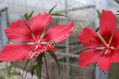 Red Water Hibiscus- Tropical Bog Plant