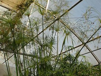 Egyptian Papyrus- Tropical Bog Plant