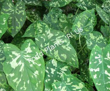 Variegated Taro- Tropical Bog Plant