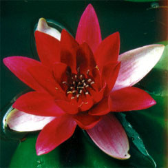 Perry's Super Red- Red Hardy Water Lily