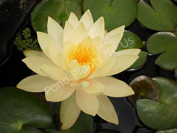 Peaches and Cream- Peach/Orange Hardy Water Lily