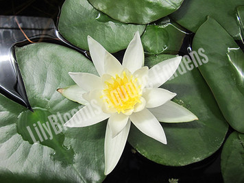 Hermine- White Hardy Water Lily