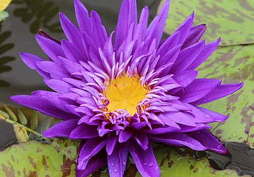 Plum Crazy - Purple Tropical Water Lily