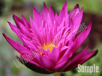 Red pink tropical water lily