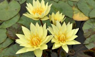 Carla's Sonshine - Yellow Tropical Water Lily