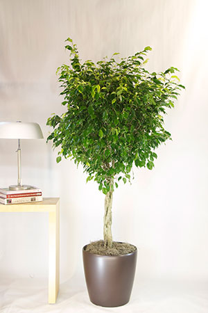 Ficus & Trees