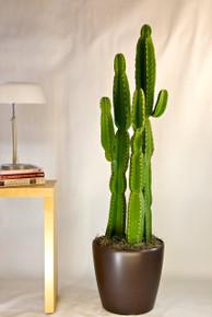 Cactus | Candelabra Tree