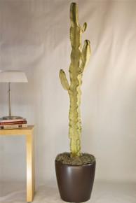 Cactus | Euphorbia Ammak Variegated