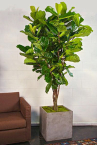 8' Ficus Lyrata, Fiddle leaf fig
