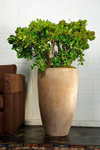 Jade Plant Houston Interior Plants