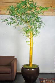 Bambusa Vulgaris, Indoor Bamboo
