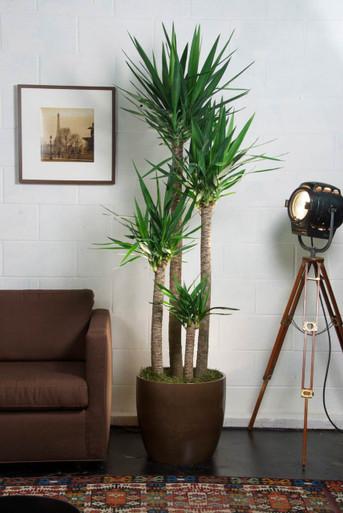 Large Yucca Cane Houston Interior Plants
