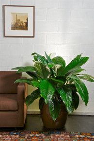 Large Spath Sensation, Closet Plant, Peace Lily