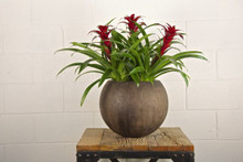 3 Bromeliads in Austin Bowl