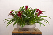 5 Bromeliads in Seattle Bowl