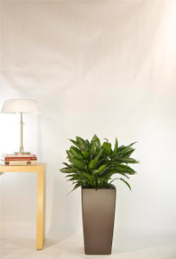 Chinese Evergreen | Medium