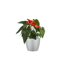 Single Red Anthurium Combo