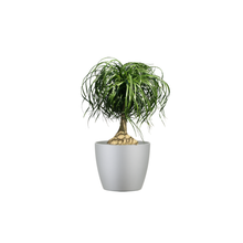 A Table Top Ponytail Palm Combo