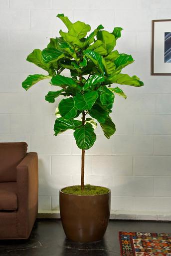 fiddle leaf fig tree houston interior plants. Black Bedroom Furniture Sets. Home Design Ideas