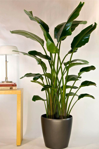 Bird of paradise large houston interior plants for Planta tropical interior