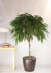 Ficus Tree Alii