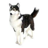 Hansa Husky Dog, Life Size 46''L (5046)